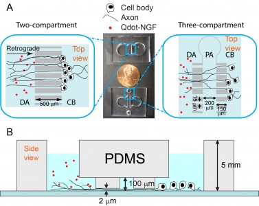 Firgure 2: Microfluidic devices for live cell tracking of axonal transport