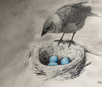Cowbird looking at robin's nest drawing